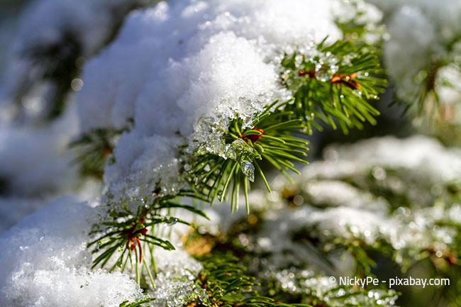 Für Bäume und Nadelbäume ist Schnee ebenfalls kein Problem