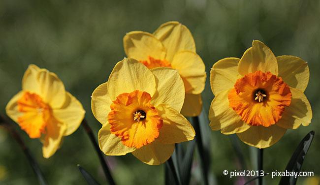 Narzissen - Die gelbe Pracht!