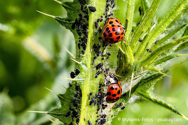 Der Einsatz von Nützlingen wie Marienkäfern hilft wunderbar bei der Schädlingsbekämpfung