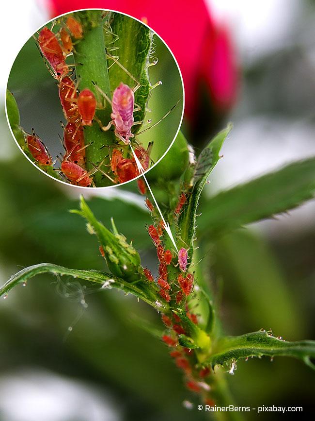 Besonders unsere schönen Rosen fallen häufig Blattläusen zum Opfer