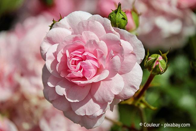 Wenn Sie wunderschöne Rosen in Ihrem Garten möchten, dann nutzen Sie am besten Hornspäne als Dünger