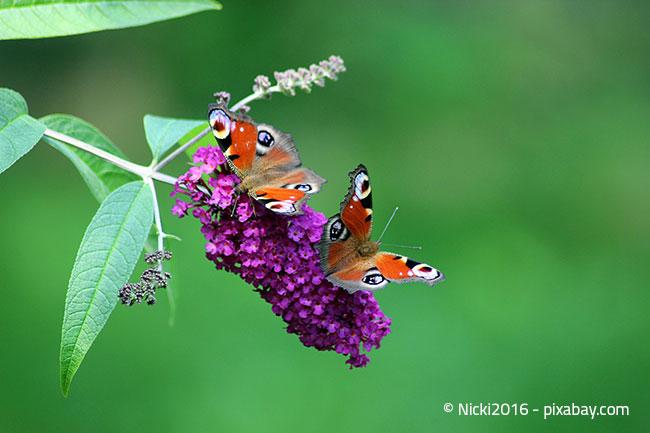 Das Tagpfauenauge mag violette Blüten wie Dahlien oder Disteln