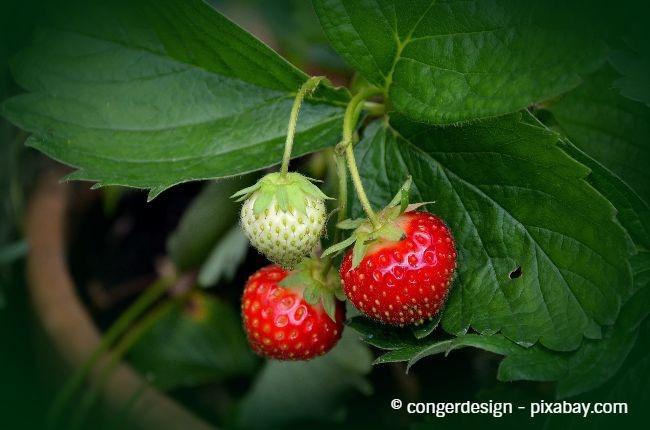 Besonders Beerenobst oder Gemüse kann bei zu intensiver Sonneneinstrahlung leiden