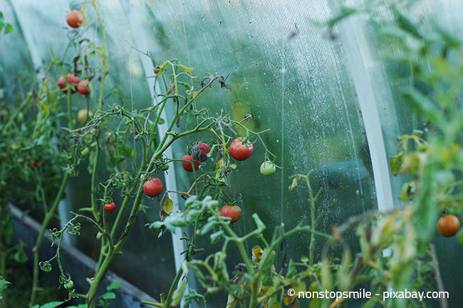 Auch ein Gewächshaus ist ein idealer Ort, um Tomatenpflanzen zu züchten