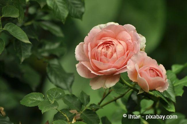 Rosen sind der absolute Klassiker unter den Duftpflanzen