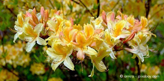 Rhododendron setzt wunderbare Farbtupfer in Ihrem Garten