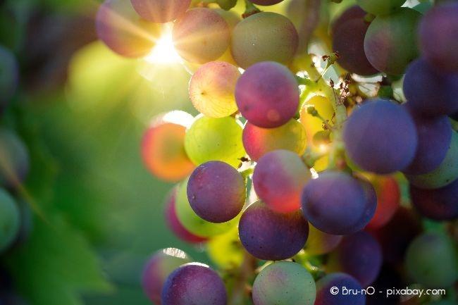 Wenn Sie Marmelade oder Gelee kochen wollen, sollten sie Weinsorten mit großen Früchten wählen