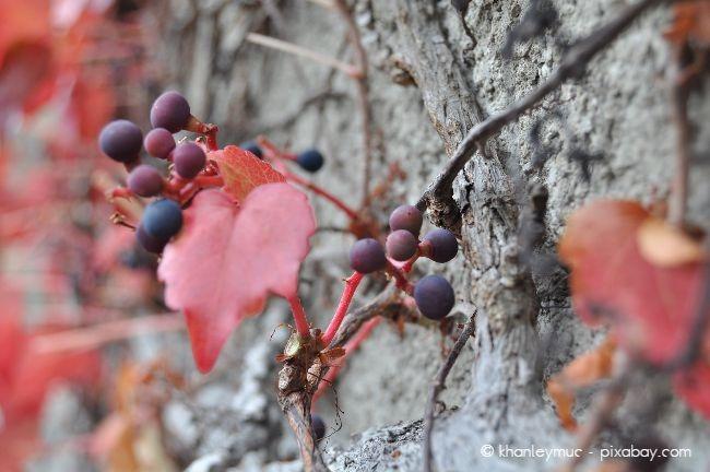 Mit dem Schutz einer Mauer oder einer Hauswand im Rücken fühlen sich Weinreben sehr wohl