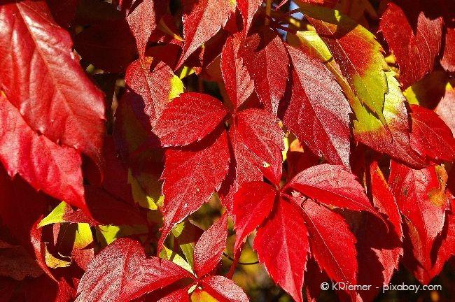 Rotes Weinlaub ist im Herbst ein echter Blickfang in Ihrem Garten