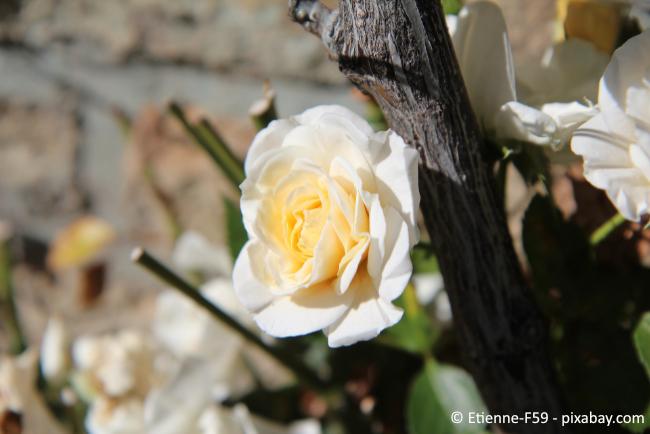 Kletterrosen sind eine besonders beliebte Form dieser Pflanzen