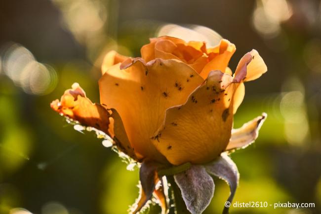Blattläuse an Rosen sind lästig, können aber mit Hausmitteln bekämpft werden