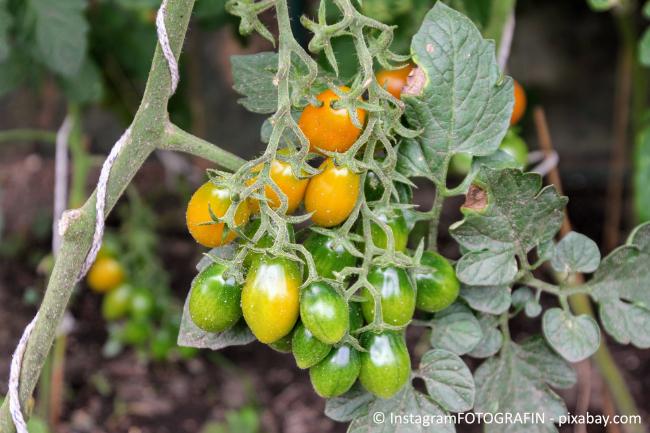 Binden Sie die Tomaten mit Stricken fest, damit die Pflanzen nicht abbrechen