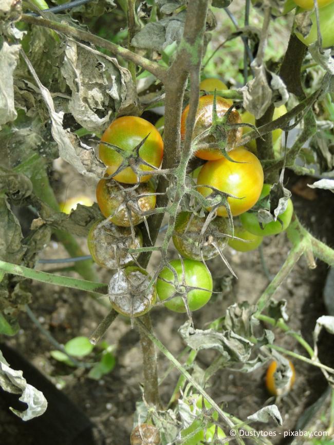 Fäulnis ist ein häufiges Problem bei Tomaten