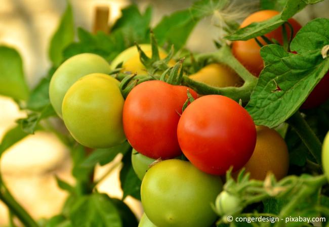 Noch grüne Tomaten können Sie auch bei geeigneten Temperaturen nachreifen lassen