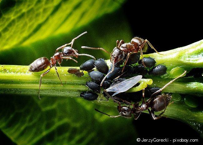 Wenn Sie vermehrt Ameisen feststellen, sind Blattläuse meist nicht weit