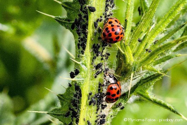 Marienkäfer sind wunderbar zur natürlichen Schädlingsbekämpfung gegen Blattläuse