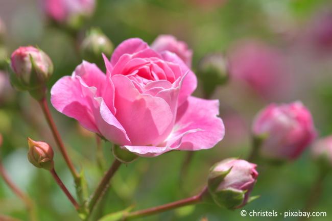 Wichtig ist, dass Sie den perfekten Rosenzweig zum Veredeln sorgfältig aussuchen.