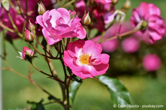 Wildrosen bilden die perfekte Basis zum Veredeln von Rosen.