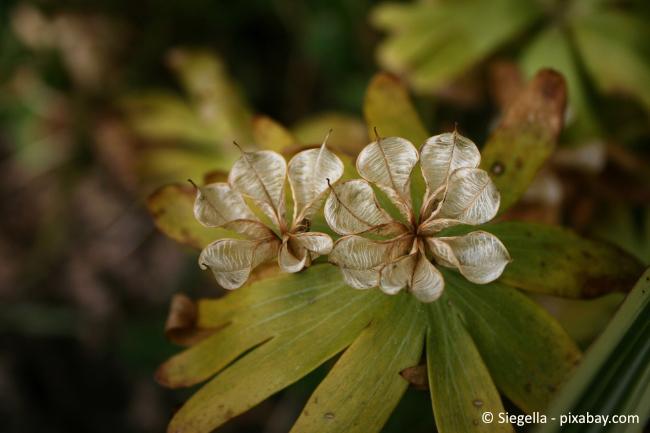 Entfernen Sie die Blätter nicht, bevor diese nicht vergilbt sind, denn nur so kann die Knolle Kraft für das nächste Jahr sammeln.