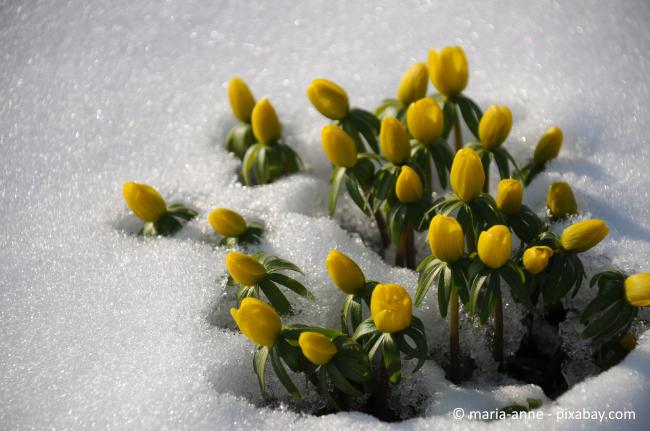 Winterlinge sind mit die ersten Frühblüher, welche sich durch die Schneedecke durchkämpfen.