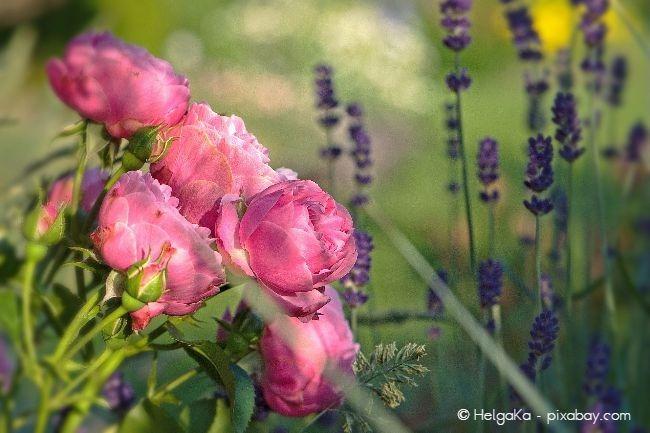 Lavendel und Rosen harmonieren wunderbar miteinander