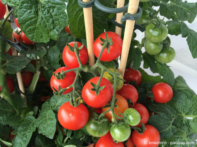 Düngen Sie Ihre Tomaten regelmäßig, wenn Sie eine reiche Ernte erzielen wollen.