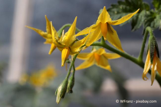 Wenn die Blüten Ihrer Tomatenpflanze spätestens bis Ende Juli/August keine Früchte ausgebildet haben, werden auch keine Früchte mehr kommen.