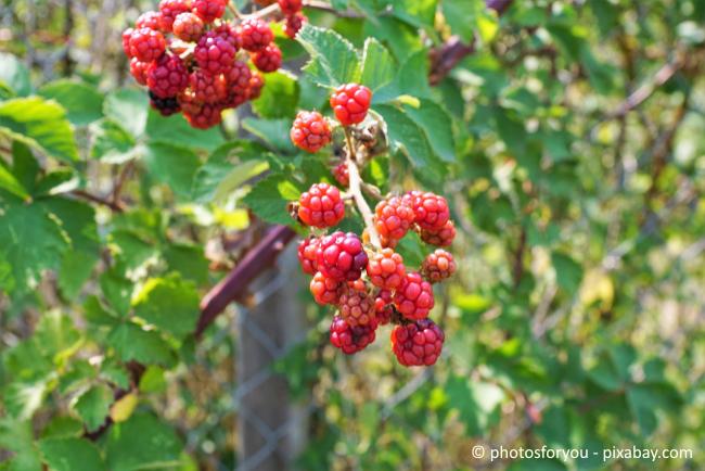 Im Garten mit allen Sinnen entspannen - dazu gehören auch leckere Beerensträucher.