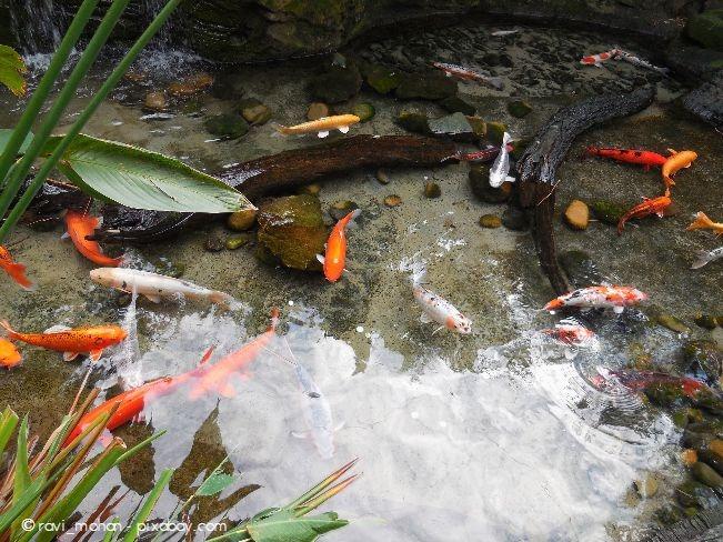 Wenn ausreichend Algen und Plankton vorhanden sind, können Sie Teichmuscheln auch mit kleineren Fischen zusammensetzen.