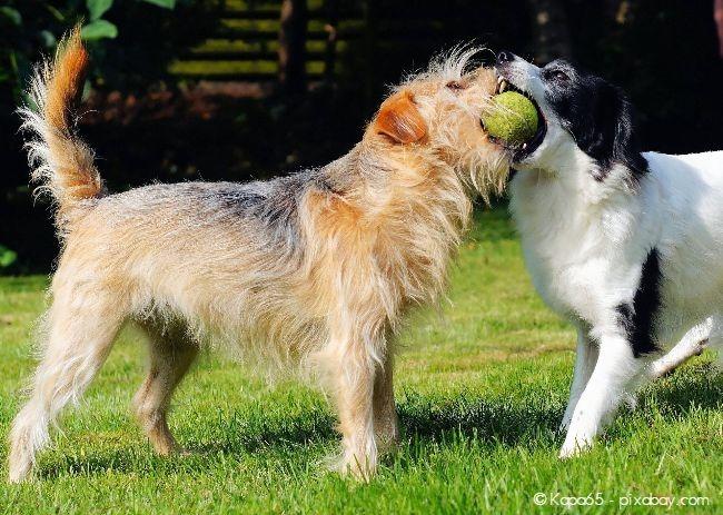Wenn Sie andere Hunde zum Spielen einladen, achten Sie darauf, dass das Revierverhalten nicht zu stark wird.