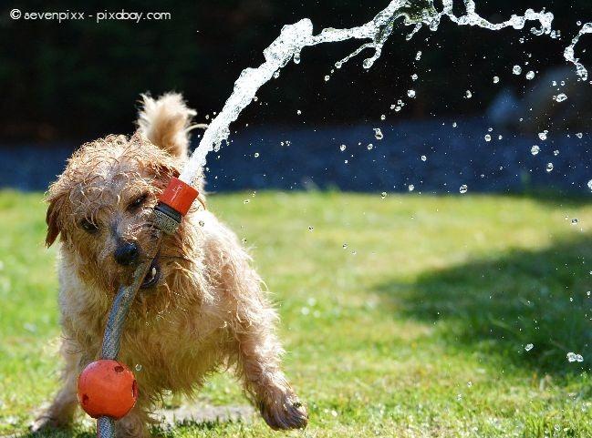 Viele Hunde lieben Spiele mit dem Wasserschlauch im Garten.