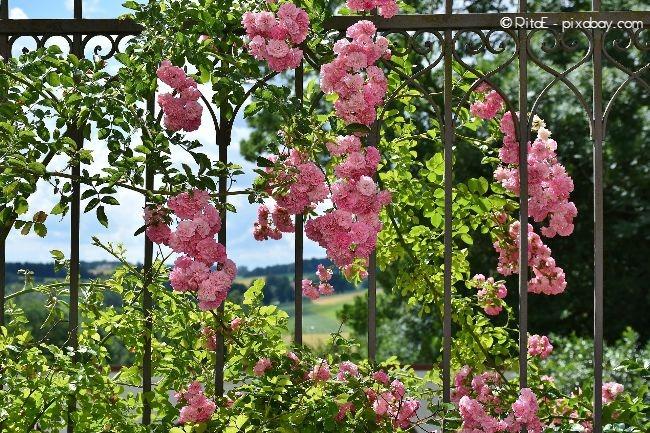 Kletterrosen können an Zäunen, Hauswänden und Rosenbögen wunderschön aussehen.
