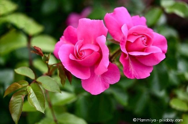 Rosa Rosen reichen hinein bis ins kräftige Pink.