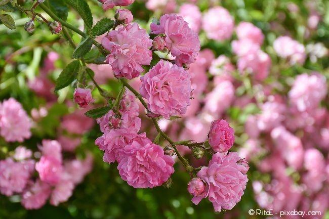 Strauchrosen wirken besonders üppig in Ihrem Garten
