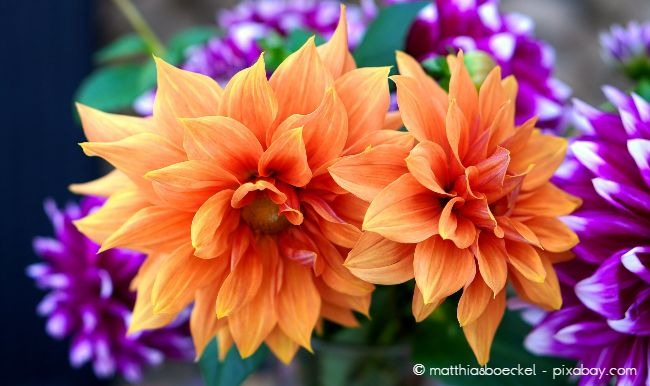 Dahlien sind wunderschöne Herbstpflanzen.