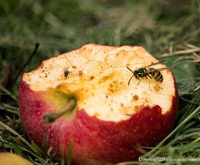 Fallobst kann schnell Insekten wie Wespen anlocken.