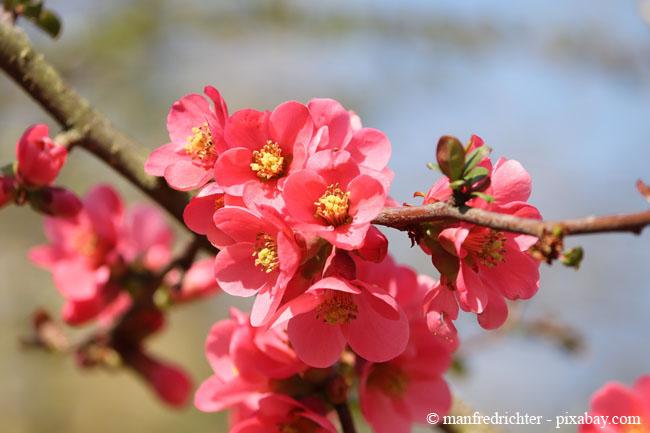 Die Blüten der Zierquitte sind im Frühjahr ein Traum in Rosa-Rot.