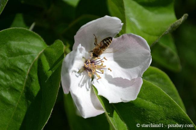 Mit einem Quittenbaum tragen Sie zu einem insektenfreundlichen Garten bei.