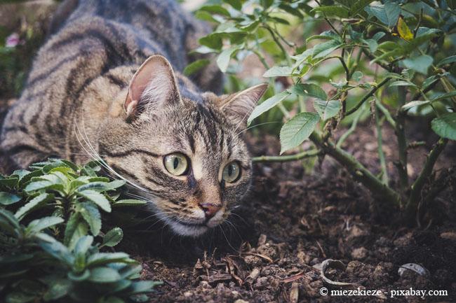 Besonders in Ihren Beeten fühlen sich Katzen meist sehr wohl.