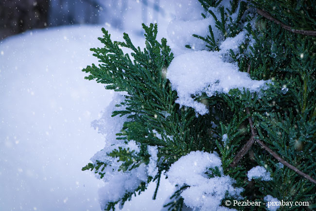 Koniferen sind immergrün und machen auch im Winter eine gute Figur in Ihrem Garten.