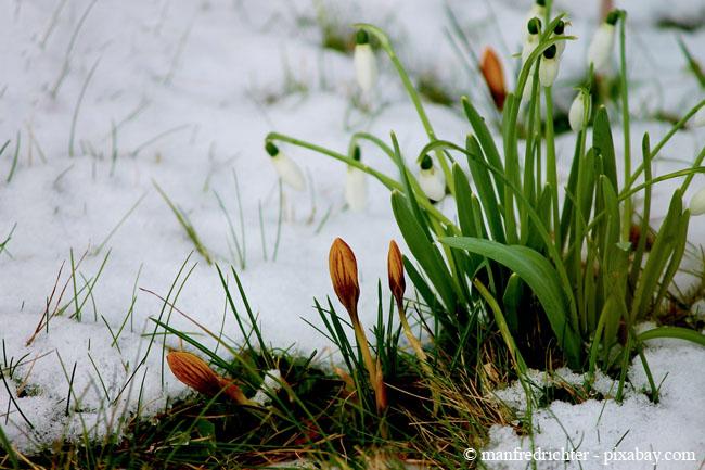 Krokusse und Schneeglöckchen setzen wunderschöne Akzente unter einer halb geschlossenen Schneedecke.