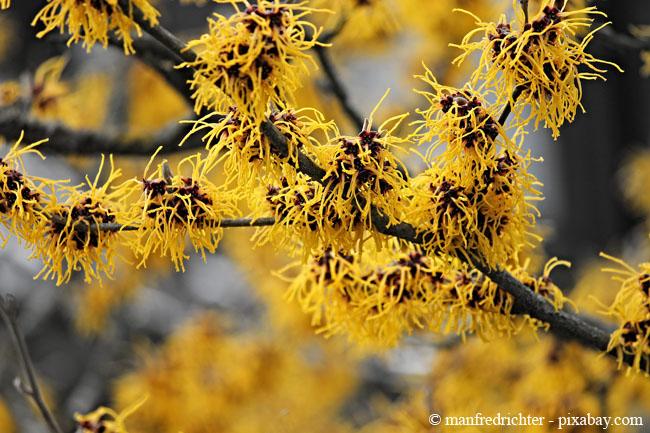 Die Zaubernuss strahlt auch im Winter mit ihren prächtig gelben Blüten.