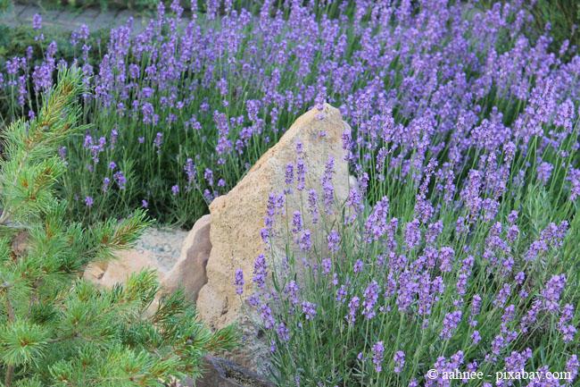 Lavendel darf in keinem Kräutergarten fehlen.