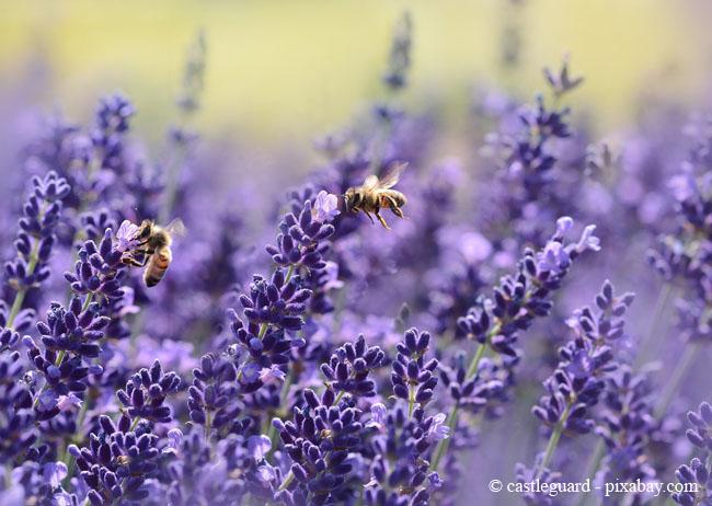 Lavendel - äußerst beliebt bei Insekten