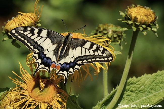 Schmetterlinge sind nützliche Tiere, welche auch bei der Bestäubung von Blüten helfen.