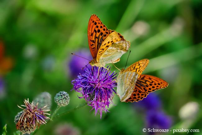 Violette Blüten ziehen Schmetterlinge magisch an.